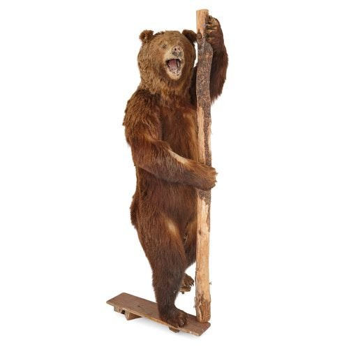 Taxidermied life-size European Brown Bear