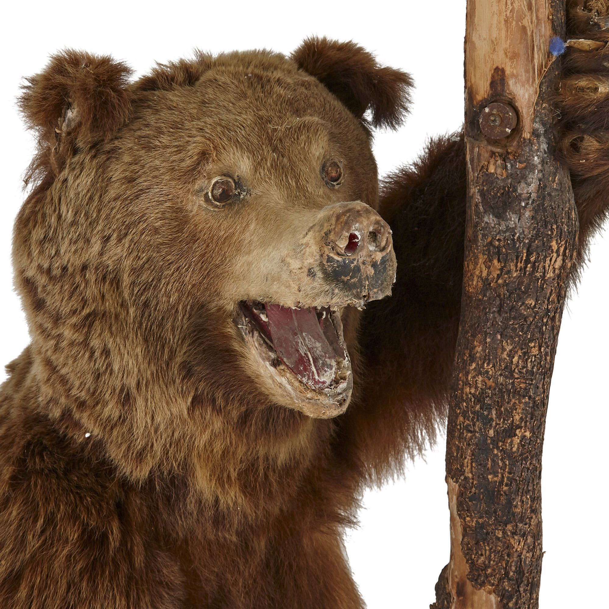 Taxidermied Life Size European Brown Bear Mayfair Gallery