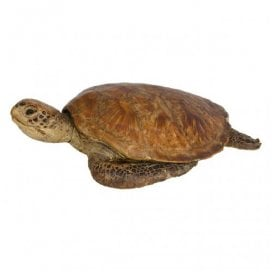Antique taxidermy green turtle